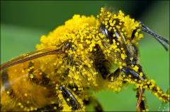 Bee pollen Health Supplement