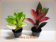 Croton 'Mrs Iceton : Codiaeum variegatum