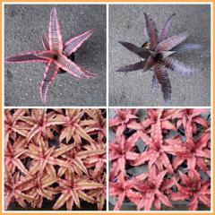 Bromeliad : Cryptanthus elaine and starlite