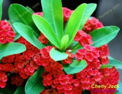 Ornamental Plants and Euphorbia milii plant Cherry
