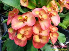 Ornamental Plants - Euphorbia milii plant