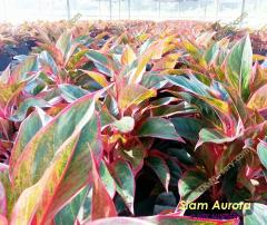 Aglaonema plants Siam Aurora
