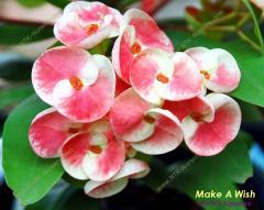 Ornamental Plants - Euphorbia milii plant Make A Wish