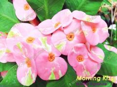 Ornamental Plants and Euphorbia milii plant Morning Kiss