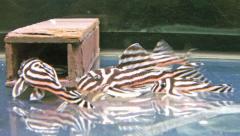 Zebra Pleco L046