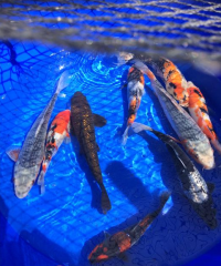 Koi Fish Varieties For Sale For Very cheap Prices