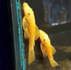 Albino Super red bristlenose Pleco And many others