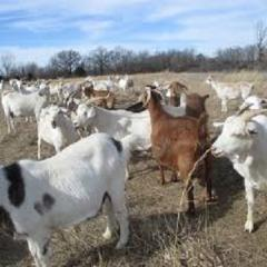 Live Boer Goats / Live Kalahari Red Goats / Live Kalahari Goats / Live Goats