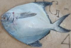 White Silver Pomfret Fish for sale