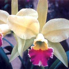 Orchid Cut Flowers