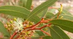 Eucalyptus Essential Oil (Thai herb, Lavender,