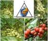 Coffee Beans (Bean-Like Seeds)