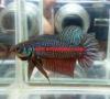 Fish Wild Smaragdina Betta Male