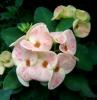 Orchid Euphorbia