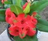 "Euphorbia Milii: ""Champion"""