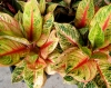 "Aglaonema: ""Queen Siam"""