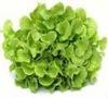 Hydroponics Lettuce