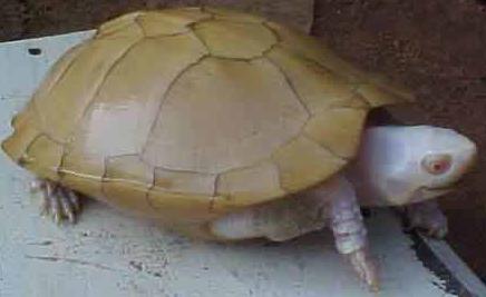 black_marsh_turtles_albino_stinkpot_turtle