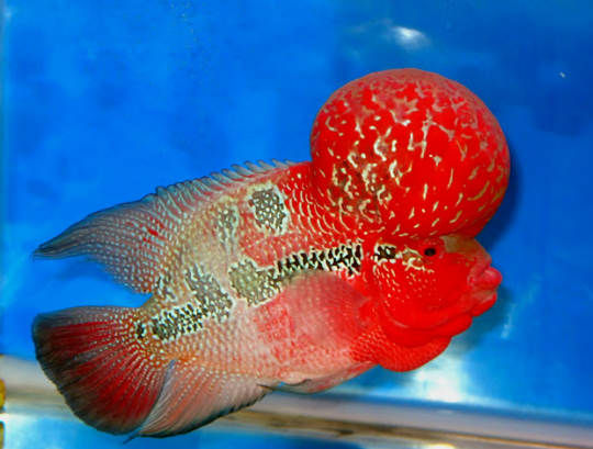 discus_fishes_of_types_for_sale_and_very_low_rate