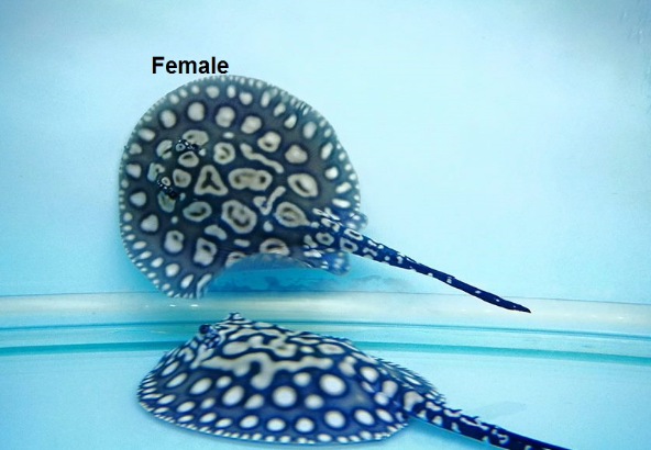 stingray_fishes_of_all_types