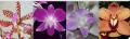 Thai orchids premium