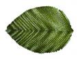 Teak Leaf