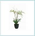 Orchid Miltassia