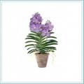 Orchid Vanda Famui