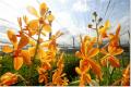 Orchid Mokara Bang Khun Tien