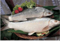 Fresh Water Fish :  Mrigal.