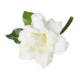 Gardenia Corsage CR-GA010-A-PN