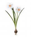 Daffodil DF050-S-WO011