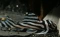 Good collection of wild caught catfish plecos