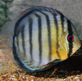 Discus Fishes of Types For Sale and very low rate