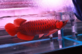 AROWANA FISH VARIETIES IN STOCK PLEASE HURRY FOR THE BEST