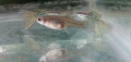 Male And Female Guppy Fishes Of All Types For Sale