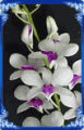 Orchid Dendrobium Lady Lip