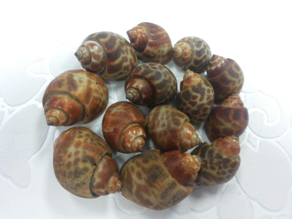 Order Frozen Top Shell Baigai
